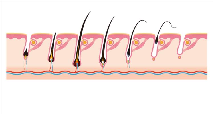 女性の薄毛の原因と、ヘアサイクルを知りましょう。