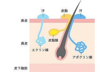 頭皮のメカニズム